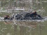 Beaver Activity in Western Dyke Marsh